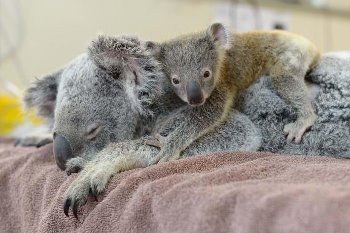 Koala-4-2015-6-11
