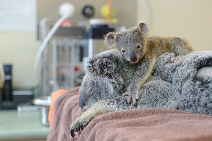 Koala-5-2015-6-11