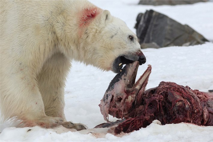 Polar Bear Eating Dolphin 1_2015_06_11