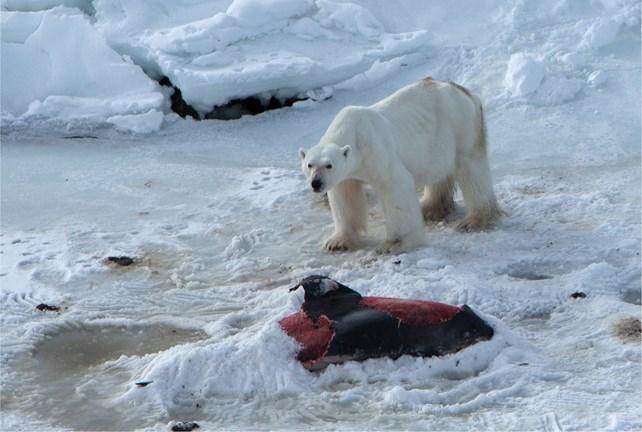 Polar Bear Eating Dolphin 2_2015_06_11