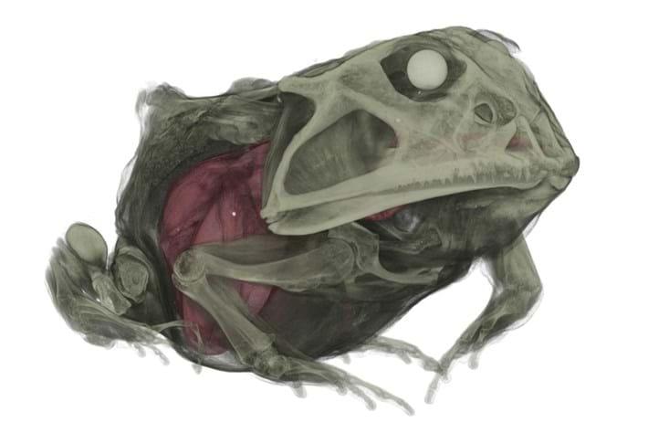 Cannibal Frog 1 2015 06 12