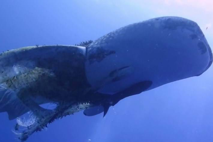Success story: Divers free tangled whale shark in the Philippines
