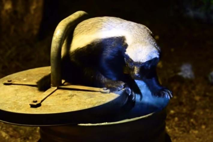 Honey badger busted during midnight raid (VIDEO)