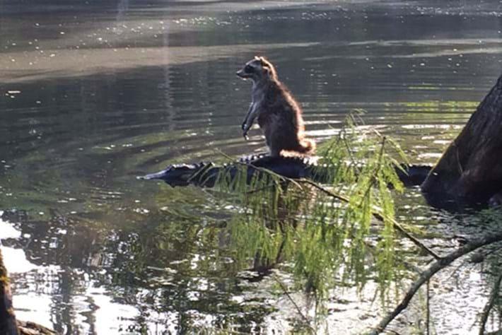 Raccoon on alligator 2015-06-15