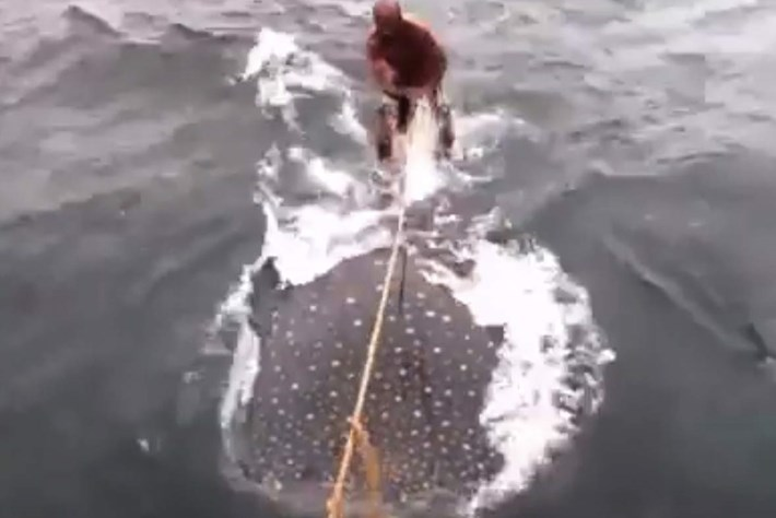 whale shark rider-page-2015-6-15