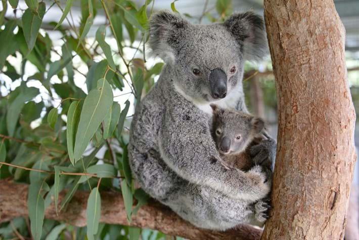 Koala Lizzy Joey Phantom Australia Zoo Wildlife Hospital 1 2015 06 18