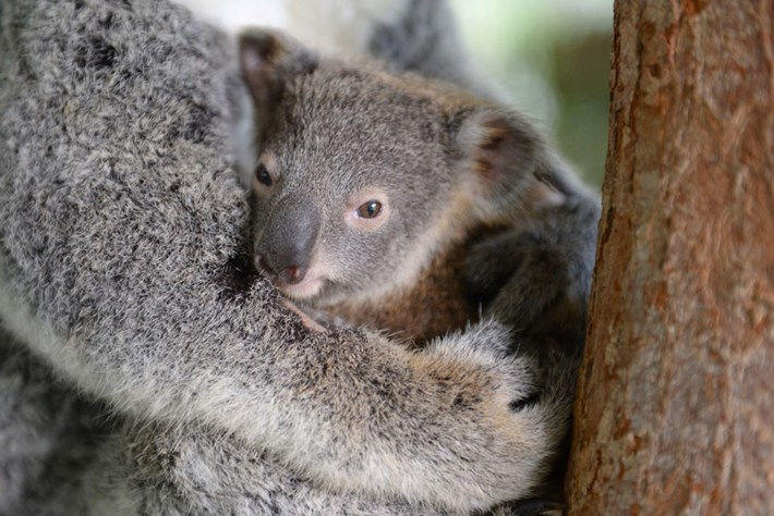 Koala Lizzy Joey Phantom Australia Zoo Wildlife Hospital 3 2015 06 18