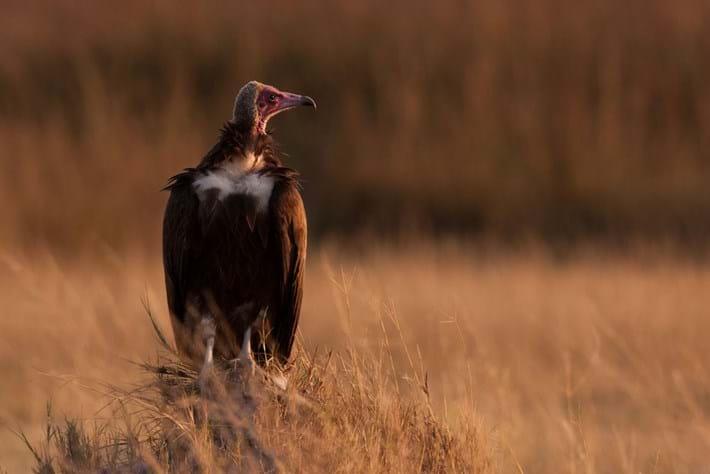 Vulture _2015_06_19