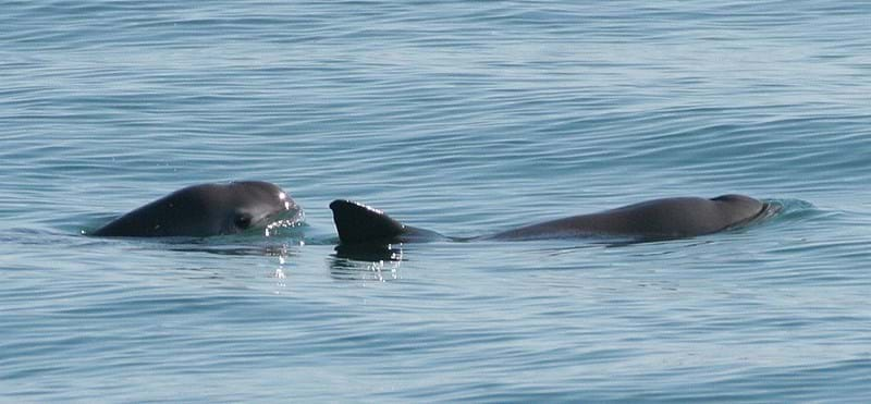 Vaquita porpoise going extinct right before our eyes