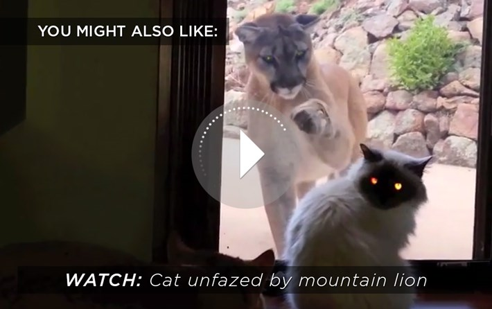 Cat Mountain Lion Related 2015 06 24
