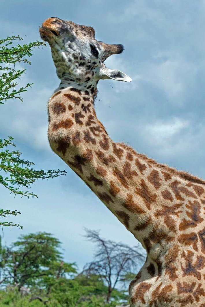 Giraffe Broken Neck 3 2015 06 25
