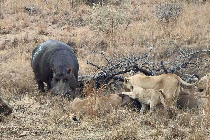 Hippo Feeding Lion Kill 2 2015 06 25