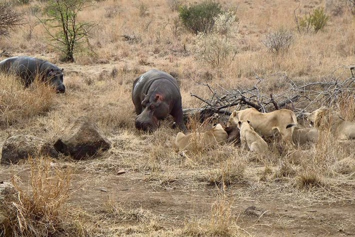 Hippo Feeding Lion Kill 2015 06 25