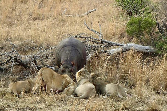Hippo Feeding Lion Kill Close 2 2015 06 25