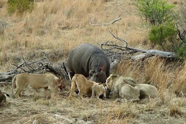 Hippo Feeding Lion Kill Close 2015 06 25