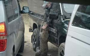 Leopard euthanised after biting a park guide in South Africa