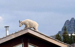 Why is this mountain goat hanging out on a rooftop?