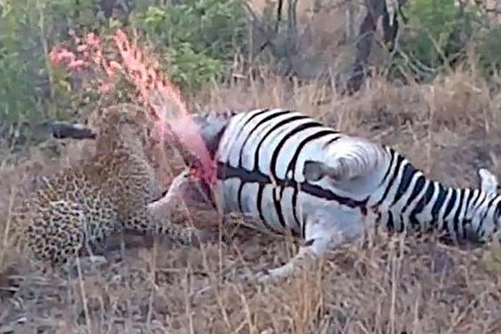 Leopard exploding zebra 2015-07-08