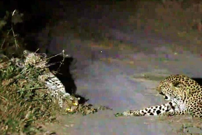 Leopard -plays -dead _2015_07_13
