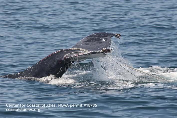 Humpback whale tangled 2015-07-13