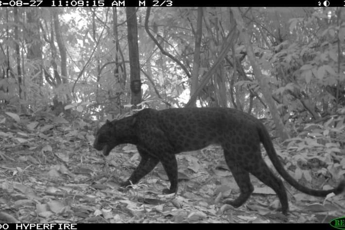 Melanistic Leopard4 2015 07 14