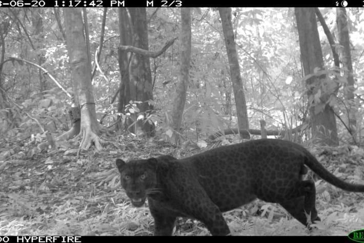 Melanistic Leopard1 2015 07 14