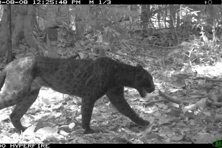 Melanistic Leopard3 2015 07 14