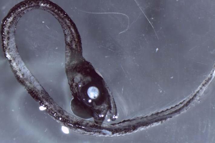 Larval Fish Idiacanthidae 2015 07 16