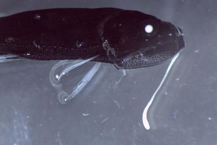 Larval Fish Melanostomiidae 2015 07 16