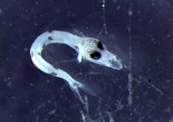 Chiasmodontidae _larval Fish _2015_07_17