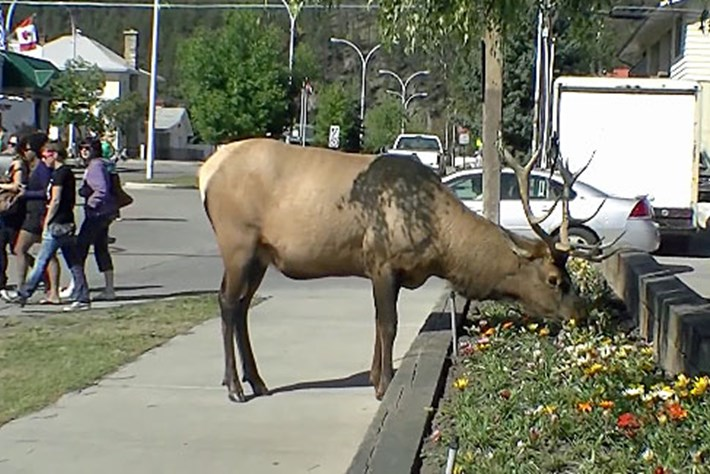 Elk -in -Jasper _2015_07_22
