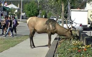 Learning about Canada's urban wildlife – with elk personality tests
