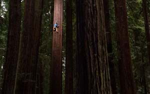 WATCH: Pro climber's hair-raising ascent to the top of a huge sequoia tree