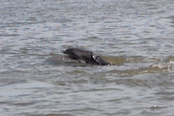 Mother Lifts Baby Dolphin 2015 07 23