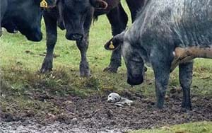 Baby seal found stuck in the mud and surrounded by cows