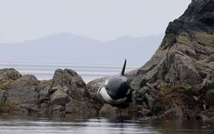 Volunteers work for 8 hours to save a stranded orca (PHOTOS & VIDEO)