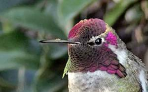 Behold the iridescent glory of hummingbird feathers! (VIDEO)