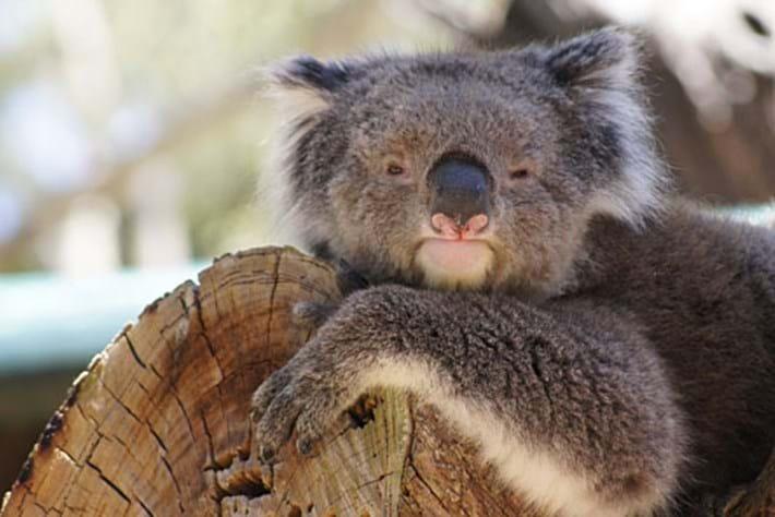 Koala -tinder _2015_07_27