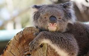 Koala Tinder is loud, but surprisingly honest