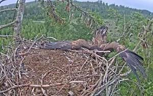 Tree branch totally ruins eagle's majestic nest landing