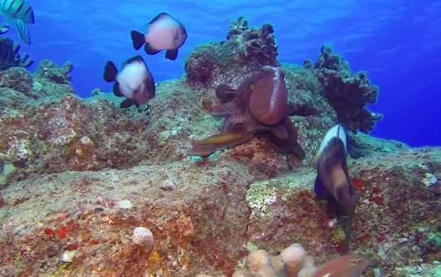 WATCH: Damselfish take on an octopus – and win!