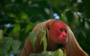 We finally know why this monkey's face is so unbelievably red