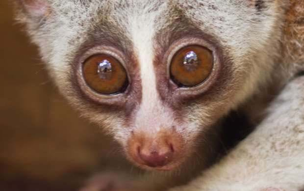 Slow lorises are adorable, fascinating and at risk (INFOGRAPHIC)