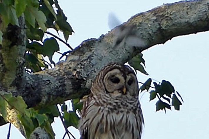 Owl -attacked -by -birds _2015_08_03