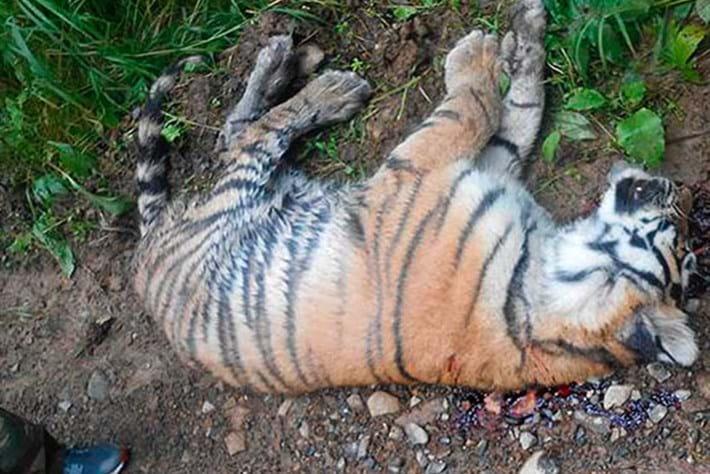 Tiger -cub -shot _2015_08_03