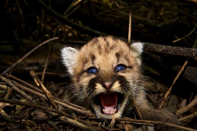 P44 Mountain Lion Kitten 2015 08 05