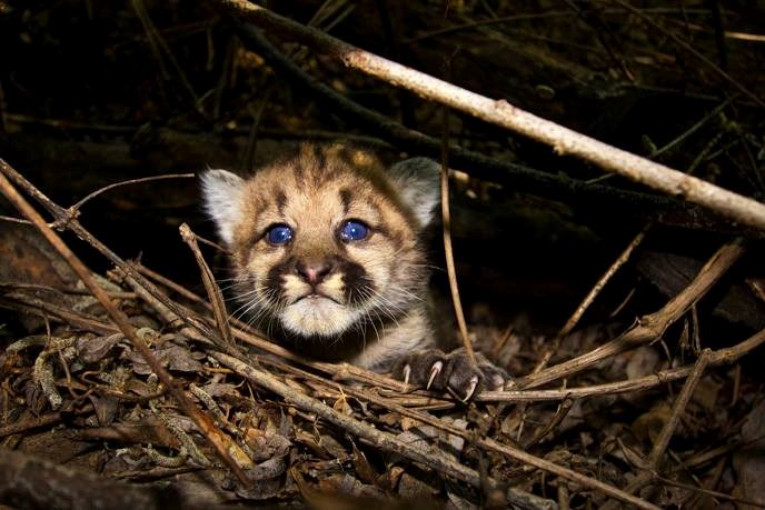 P 44 Mountain Lion Close 2015 08 05