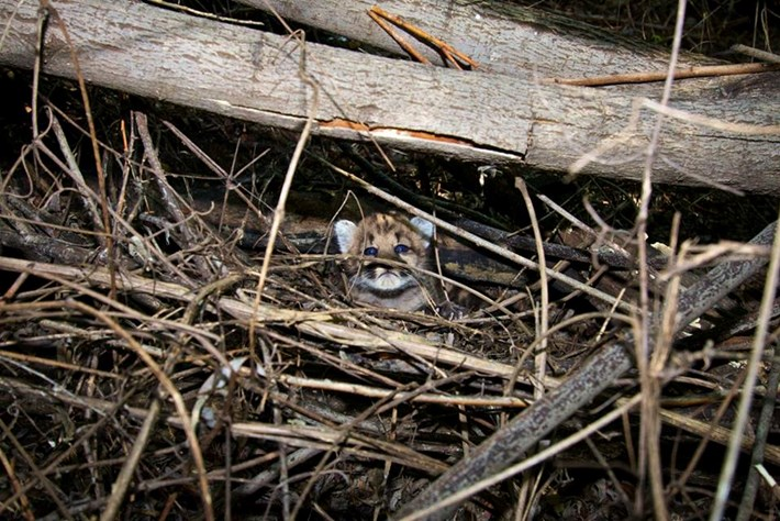 P44 Mountain Lion Hidden Twigs 2015 08 05