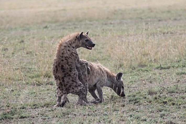 Hyena -sex -fail _2015_08_05