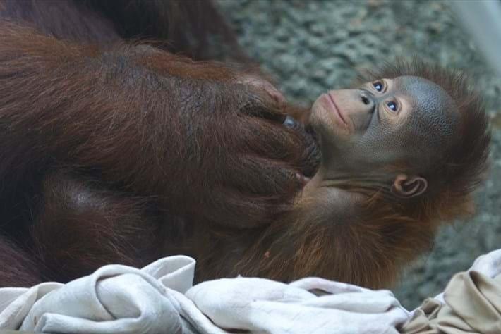 Orangutan baby Toledo 2015-08-05